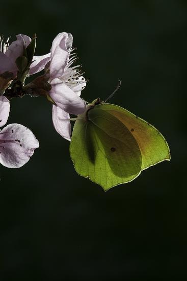 Gonepteryx Cleopatra (Cleopatra Butterfly)-Paul Starosta-Photographic Print