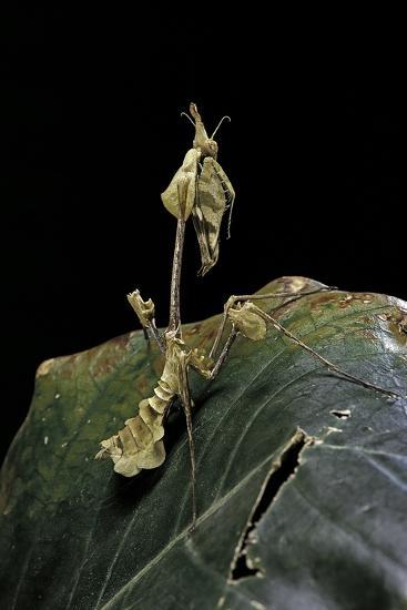 Gongylus Gongylodes (Wandering Violin Mantis)-Paul Starosta-Photographic Print