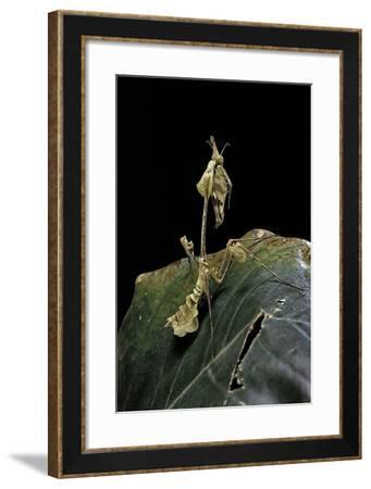 Gongylus Gongylodes (Wandering Violin Mantis)-Paul Starosta-Framed Photographic Print