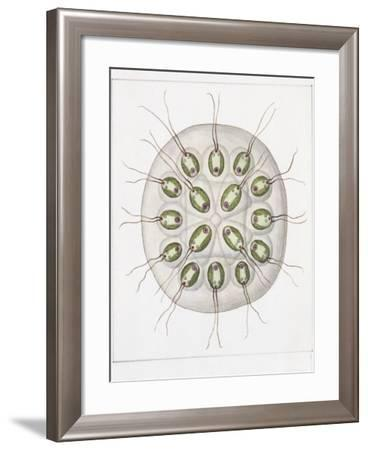 Gonium Pectorale--Framed Giclee Print