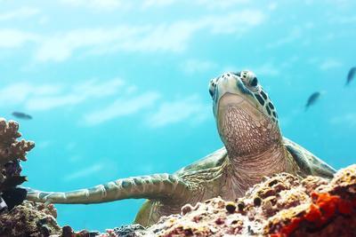 Green Turtle Underwater Close-Up. Sipadan. Celebes Sea