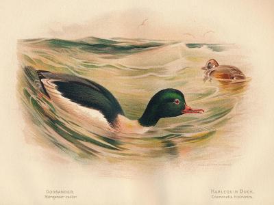 Goosander (Merganser castor), Harlequin Duck (Cosmonetta histrionica), 1900, (1900)-Charles Whymper-Giclee Print