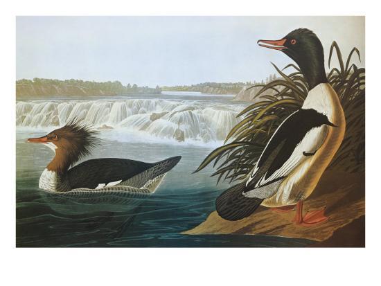 Goosander-John James Audubon-Art Print