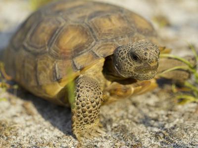 Gopher Tortoise, Gopherus Polyphemus, Wiregrass Community, Central Florida, USA-Maresa Pryor-Photographic Print
