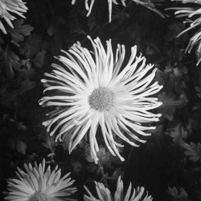 Close-Up of Chrysanthemums at Garfield Park Conservatory