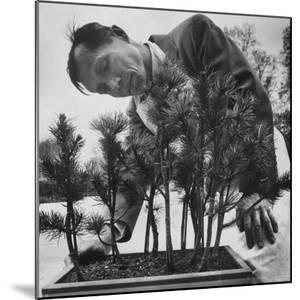 Japanese Horticulturist Kan Yashiroda Tending to a Bonsai Tree by Gordon Parks