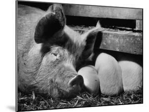 Not Pure Breds, Mixed Yorkshire Pigs, on Iowa Farm by Gordon Parks