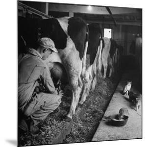 Young Farmer Milking a Row of Cows in a Barn, Kittens and Pan of Milk Nearby by Gordon Parks
