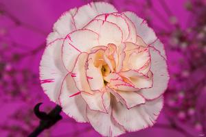 Carnation by Gordon Semmens