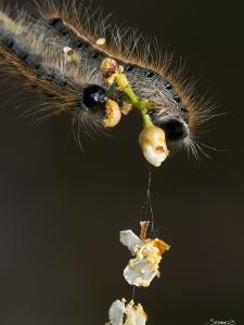 Close-Up Catepillar, Eating Flower by Gordon Semmens