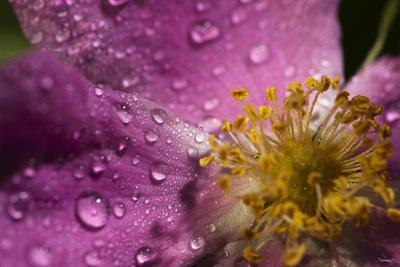 Cosmos Flower with Dew Drops, Rain Drops