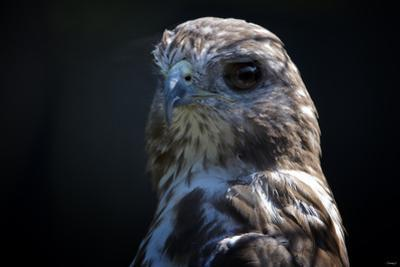 Hawk by Gordon Semmens