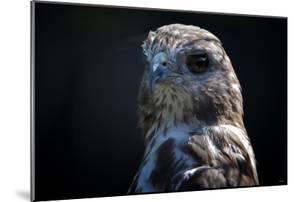 Hawk by Gordon Semmens