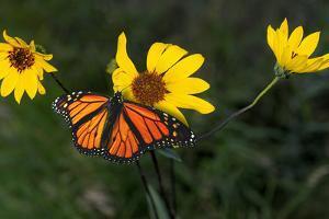 Monarch 1 by Gordon Semmens