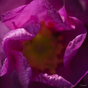 Pink Petals by Gordon Semmens