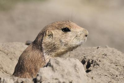 Prairie Dog by Gordon Semmens
