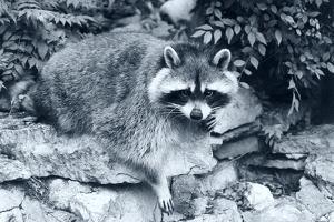 Raccoon 2 by Gordon Semmens