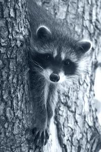 Raccoon 3 by Gordon Semmens