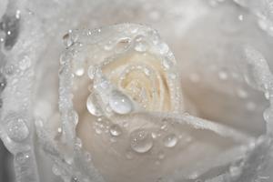 Rose by Gordon Semmens