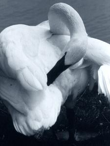 Snow Goose by Gordon Semmens
