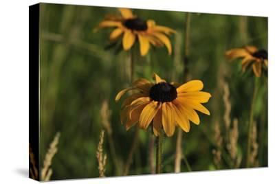 Wildflowers, Black-Eyed Susans