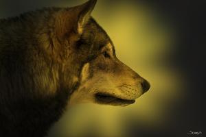 Wolf Profile HL1 by Gordon Semmens