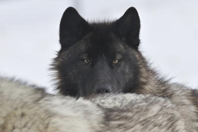 Zoo Wolf 08 by Gordon Semmens
