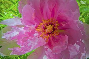 A Peony Blooms in a Garden by Gordon Wiltsie