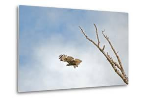 A Red-Tailed Hawk, Buteo Jamaicensis, Flies Above Montana's Gallatin Valley Near Bozeman by Gordon Wiltsie