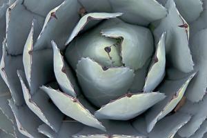 An Agave Cactus Grows in a Xeriscape Garden in Bishop, California by Gordon Wiltsie