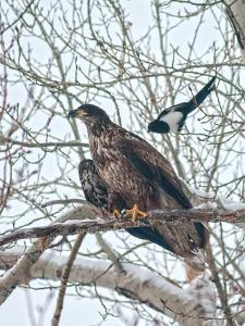 An Immature Bald Eagle Being Dive-Bombed by a Black-Billed Magpie Near the Magpie's Nest by Gordon Wiltsie
