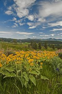 Arrowleaf Balsamroot, Lupines and Other Wildflowers Bloom, Southern Bridger Mountains, Montana by Gordon Wiltsie