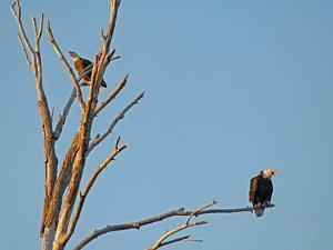 Bald Eagles, Haliaeetus Leucocephalus, Perch in a Dead Tree in the Gallatin Valley Near Bozeman by Gordon Wiltsie