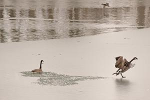 Canada Geese on an Icy Pond by Gordon Wiltsie
