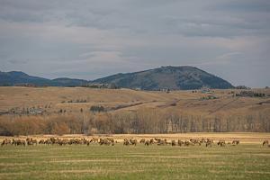 Elk, Cervus Canadensis, Grazing in a Field in the Gallatin Valley by Gordon Wiltsie