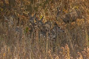 Mule Deer, Odocoileus Hemionus, are Almost Camouflaged as They Watch for Predators by Gordon Wiltsie