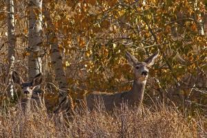 Mule Deer, Odocoileus Hemionus, Watch for Predators on Madison Range Hillside, Montana by Gordon Wiltsie