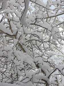 New Snow Covers Branches of an Aspen Tree Near Bozeman, Montana by Gordon Wiltsie