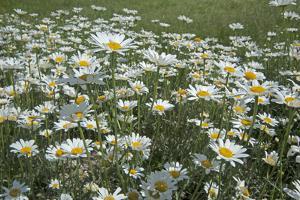 Oxeye Daisies, Leucanthemum Vulgare, an Introduced Species, Crowd a Meadow Near Big Sky, Montana by Gordon Wiltsie