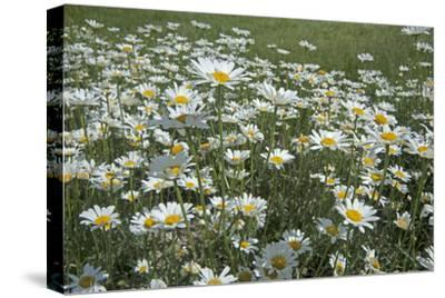 Oxeye Daisies, Leucanthemum Vulgare, an Introduced Species, Crowd a Meadow Near Big Sky, Montana