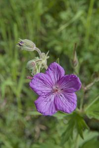 Sticky Geranium, Geranium Viscosissimum, Flowers Bloom in Montana's Boulder River Valley by Gordon Wiltsie