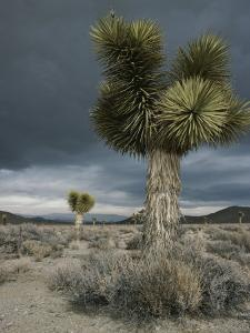 Stormy Clouds Brew over the Mojave Desert and Beaked Yucca Plants by Gordon Wiltsie