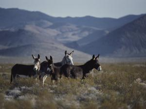 Wild Burros Descended from Those Left by Prospectors by Gordon Wiltsie