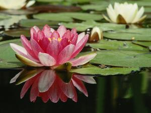 Gorgeous Blooming Waterlily