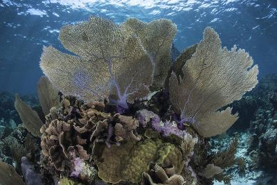 Gorgonians Grow in Shallow Water Off Turneffe Atoll in Belize-Stocktrek Images-Photographic Print