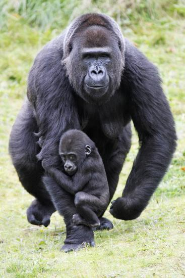Gorilla Female Carrying Baby Animal--Photographic Print