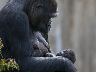 Gorilla Mother Looking Down at Her New Born Baby-Karine Aigner-Photographic Print