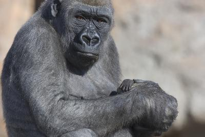 Gorilla with Baby-DLILLC-Photographic Print