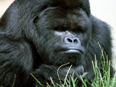 Gorilla--Photographic Print
