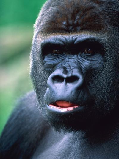 Gorilla-Frank Krahmer-Photographic Print
